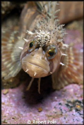 Decorated warbonnet. Nikon D200, 105mm. Taken near Vancou... by Robert Polo 